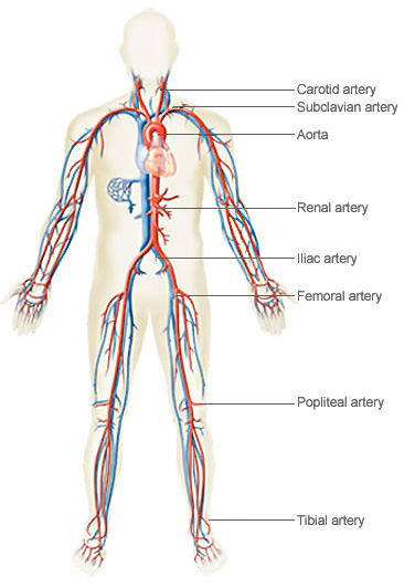 Illustration showing the peripheral vascular system