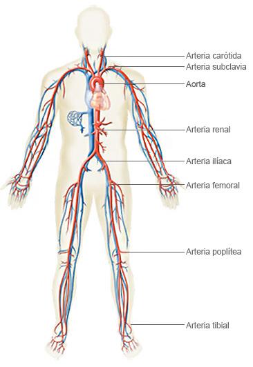 Arterias Cuerpo Humano Español